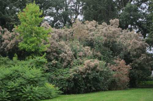 L'arbre à perruques ou arbre à barbe de Jupiter, appelé arbre à fumée en Angleterre.